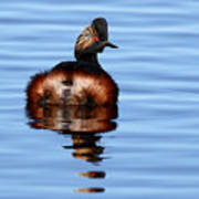 Eared Grebe Reflecting On Calm Water Art Print