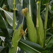 Ears Of Corn Art Print