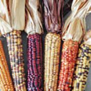 Ears Of Indian Corn Art Print