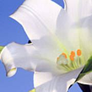Easter Lily Back Lit By The Sun  Art Print