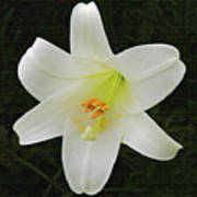 Easter Lily With Black Background Art Print