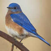 Eastern Blue Bird Male Art Print