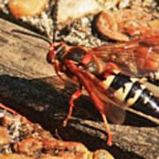 Eastern Cicada Killer Wasp Art Print