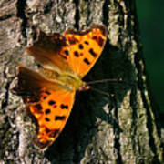 Eastern Comma Butterfly Art Print