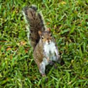Eastern Gray Squirrel Art Print