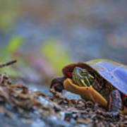 Eastern Painted Turtle Chrysemys Picta Art Print