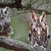 Eastern Screech Owls 424 Art Print