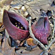 Eastern Skunk Cabbage Spathes - Symplocarpus Foetidus Art Print