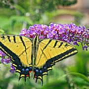 Eastern Swallowtail Art Print