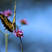 Eastern Tiger Swallowtail And Blue Sky Art Print