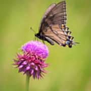 Eastern Tiger Swallowtail Dark Form  Art Print