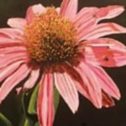 Echinacea Flower Art Print