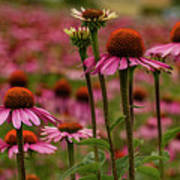 Echinacea Front And Center Art Print