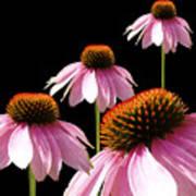 Echinacea In Half  Art Print