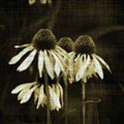 Echinacea Art Print by Terrie Taylor