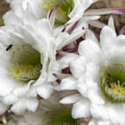 Echinopsis Blossoms  Art Print