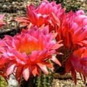 Echinopsis Flowers In Bloom II Art Print