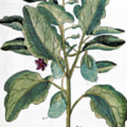 Eggplant, 1735 Art Print