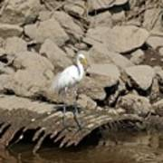 Egret Fishing Art Print