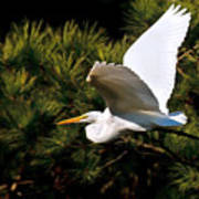 Egret In Flight 1 Art Print