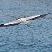 Great Blue Heron In Flight Art Print