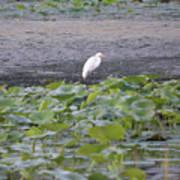 Egret Standing In Lake Art Print