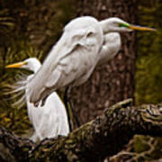 Egrets On A Branch Art Print