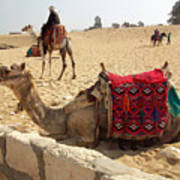 Egypt - Camel Getting Ready For The Ride Art Print