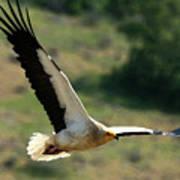 Egyptain Vulture In Flight  Art Print
