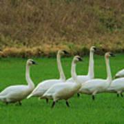 Eight Beautiful Swans Art Print