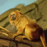 El Paso Zoo - Golden Lion Tamarin Art Print by Allen Sheffield
