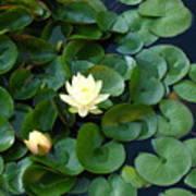 Elegant Water Lily Art Print