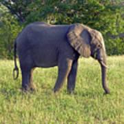 Elephant Feeding Art Print