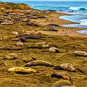 Elephant Seals Near Cambria  Art Print