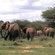 Elephant Walk Tsavo National Park Kenya Art Print