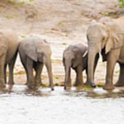 Elephants At The Bank Of Chobe River In Botswana Art Print