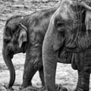 Elephants Bw Art Print