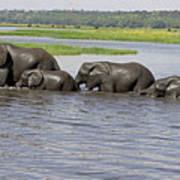 Elephants Crossing Chobe River Art Print