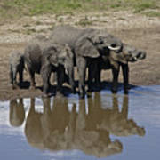 Elephants In The Mirror Art Print