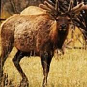 Elk #1 Art Print