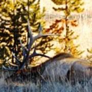Elk Als Yellowstone Art Print