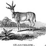 Elk Antelope Art Print
