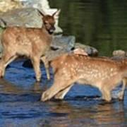 Elk Calf Crossing River 1 Art Print