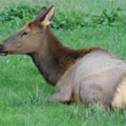 Elk Cow Art Print