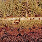 Elk Harem Art Print
