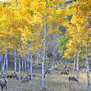 Elk In Rmnp Colorado Art Print