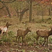 Elk In The Early Morning Art Print