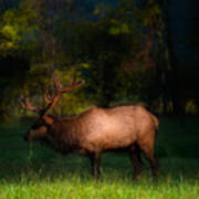 Elk In The Smokies. Art Print by Itai Minovitz