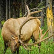 Elk In The Woods Art Print