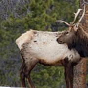 Elk Looking Back Art Print